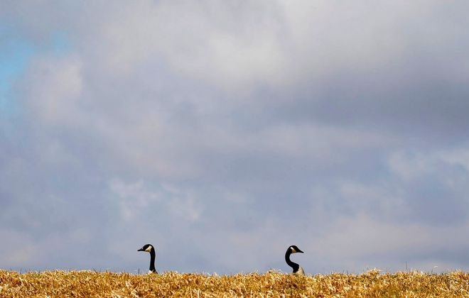 A pair of Canada geese rest in some grass at the Iroquois National Wildlife Refuge in Basom. (Mark Mulville/Buffalo News)