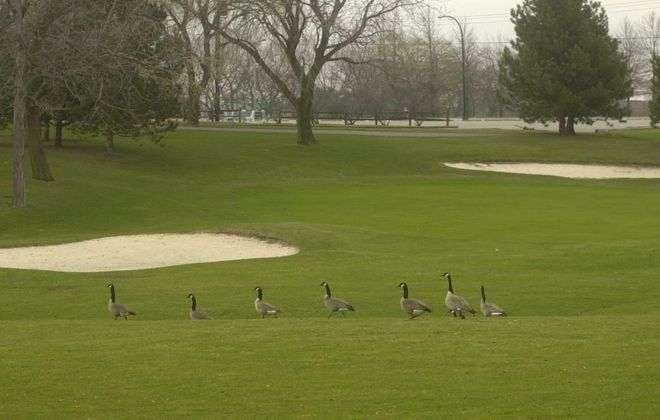 A gaggle of geese stroll casually across the grass at Sheridan Park Golf Course in the Town of Tonawanda, where an unleashed dog recently attacked and badly injured a deer. (Buffalo News file photo)