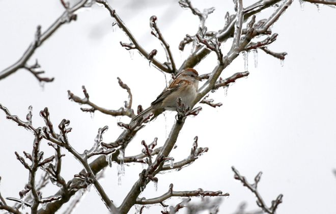 A bird rests on an ice-covered branch in South Park in Buffalo earlier this month.  (Mark Mulville/Buffalo News)