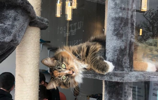 """The touring cast of """"Cats"""" will visit the felines of Purrfect Cafe and Gallery, including Wanda, pictured here. (Ben Tsujimoto/Buffalo News)"""
