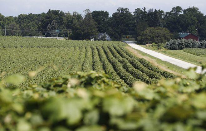 A vineyard on Munson Road in Westfield, Thursday, July 18, 2019. (Sharon Cantillon/Buffalo News)