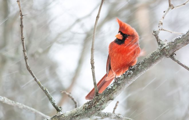A northern cardinal, photographed by local birder Nathan Johnson.