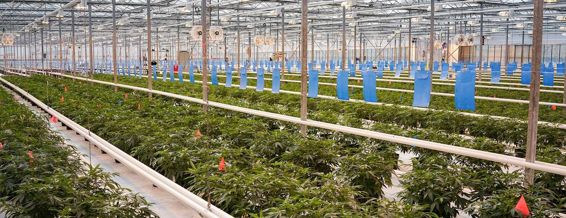 Rows of marijuana plants fill a greenhouse in Niagara-on-the-Lake, Ont., in 2017. (Derek Gee/News file photo)