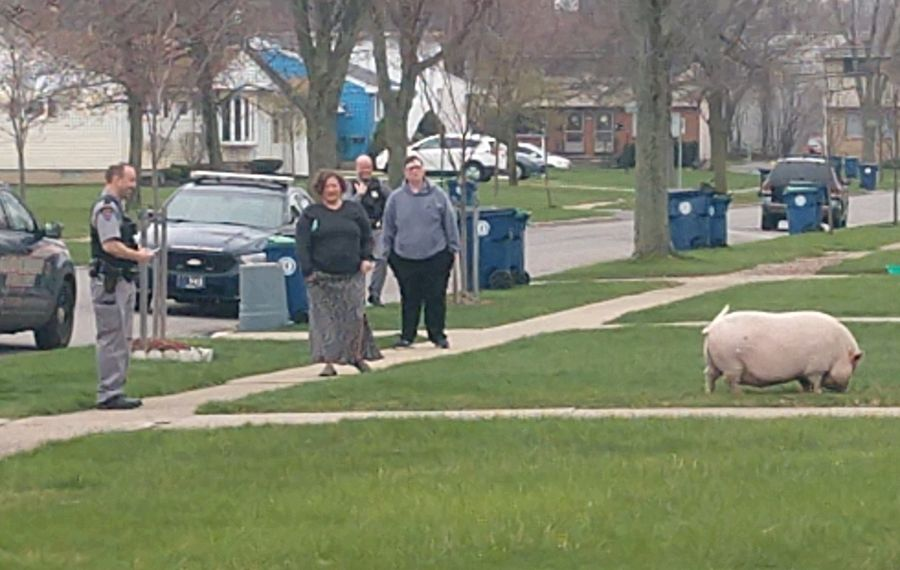 The pig in question. (Photo courtesy of Justin Cole)