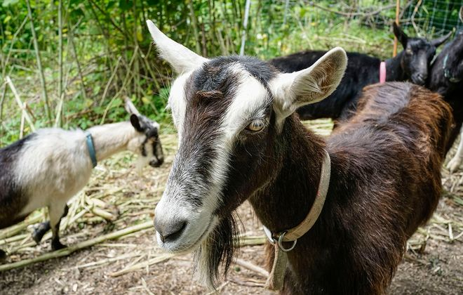 Oprah, one of the goats from Let's Goat Buffalo, munches on invasive Japanese knotweed as part of a pilot county program in Como Lake Park. (Derek Gee/Buffalo News)