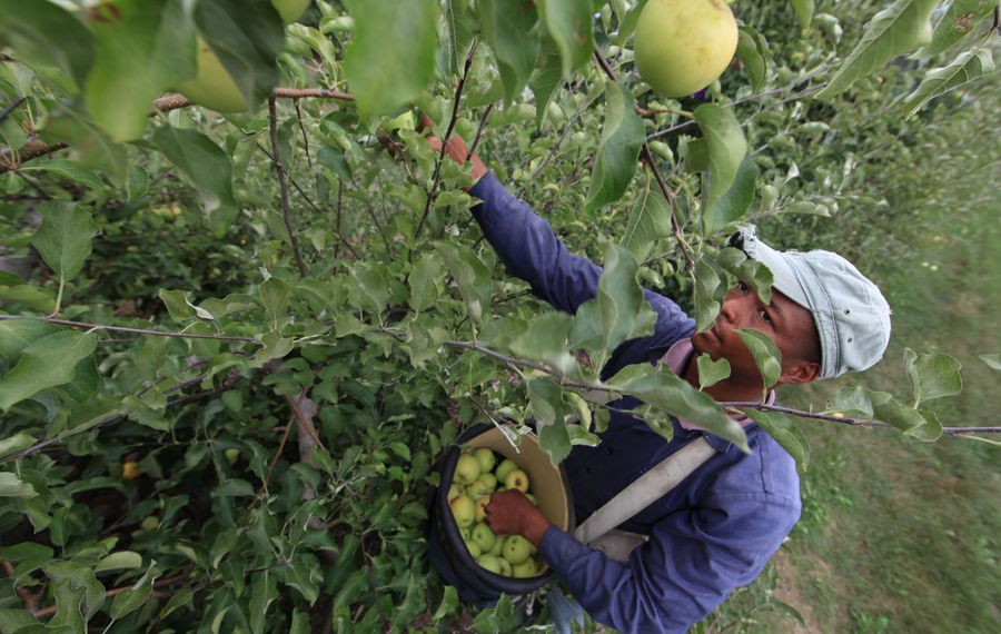 Farm workers will be paid overtime if they work more than 60 hours in a week under a new state law. (News file photo by Harry Scull Jr.}