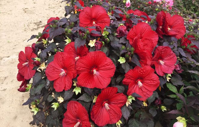 The long-blooming Hibiscus 'Holy Grail' will surely turn heads. Shown above: The new Summerific® 'Holy Grail.' (Photo courtesy Proven Winners, ProvenWinners.com)