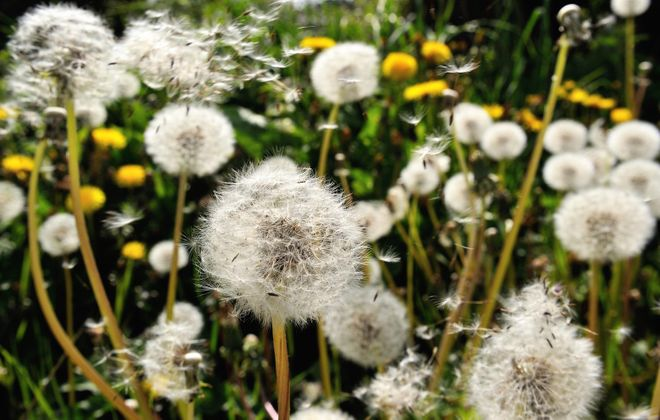 Dandelion seeds blow in the wind. (Philippe Huguen/Getty Images)