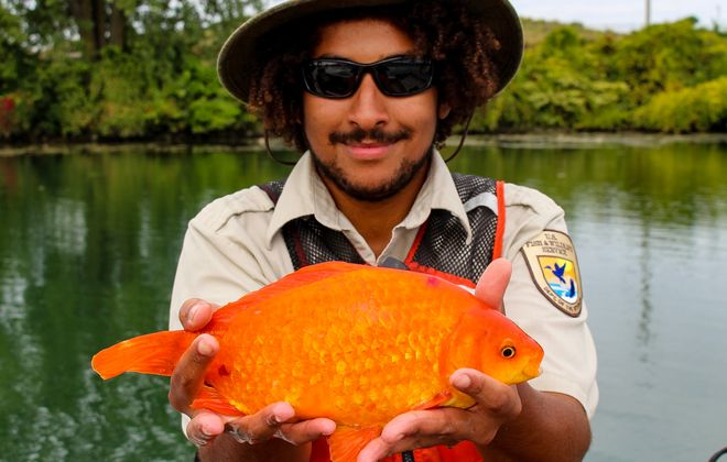 Marcus Rosten, now of Buffalo Niagara Waterkeeper, with a 14-inch goldfish he found - and then released - in the Black Rock Canal. (Courtesy Marcus Rosten)