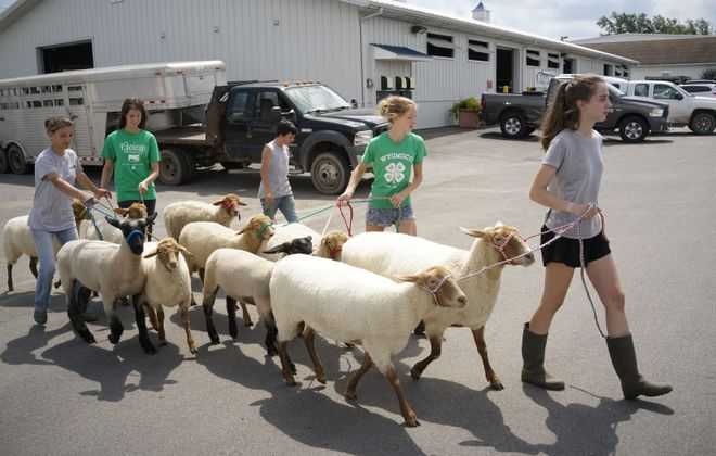 From left, Brooke Gerhardt, 18, Rachel McNamara, 18, Patrick DiJoseph, 14, Allison McNamara, 14, and Morgan Griffin, 14, guide their sheep from GC Acres in Marilla toward the barn while preparing for the opening day of the Erie County Fair. (Derek Gee/Buffalo News)