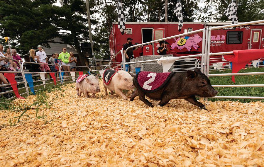 Don't miss the adorable Swifty Swine pig race at the Erie County Fair. (Photo courtesy Erie County Fair)