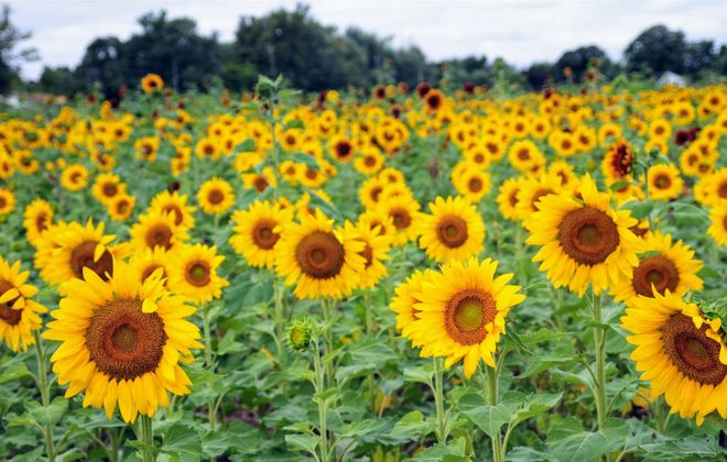 The Sunflowers of Sanborn – after wrestling over new legislation with the Town of Cambria – will return its special events for 2019. (Sarah K. McIlhatten/Special to The News)