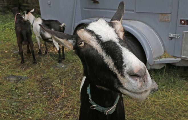 The face of an invasive weed-eating machine. (Robert Kirkham/Buffalo News)