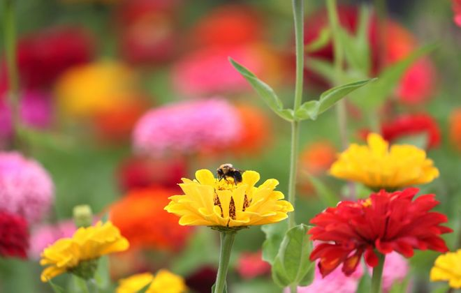 Dazzling zinnias brighten a Buffalo garden. (Sharon Cantillon/News file photo)