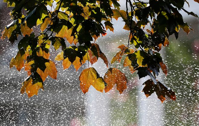 Maple leaves sprayed by a sprinkler in North Buffalo on Aug. 7. (Sharon Cantillon/Buffalo News)