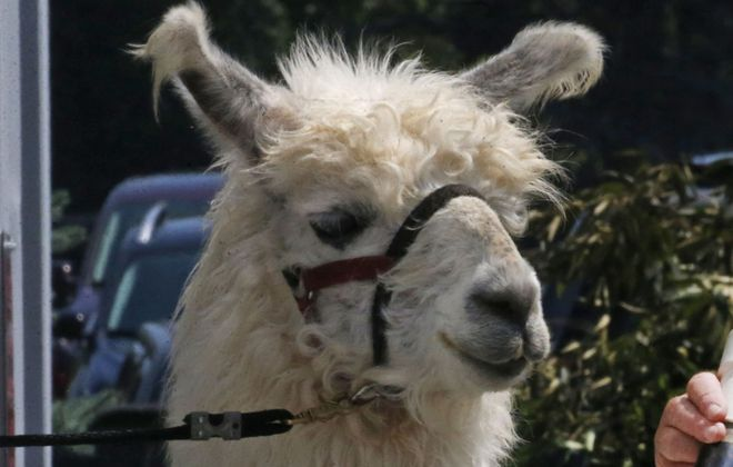 Llamas will be in the spotlight at the WNY LlamaFest in Arcade. Pictured is a llama at the Erie County Fair in 2018.  (Robert Kirkham/News file photo)