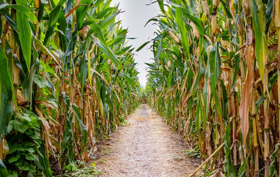 Navigating WNY's corn mazes