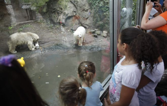 A crowd gathers to watch polar bear cubs Kali, left, and Luna play in their enclosure at the Buffalo Zoo on Wednesday.