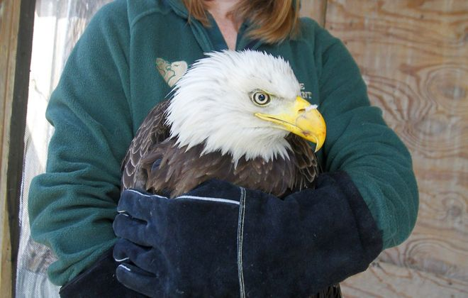 Beverly Jones, assistant director of wildlife services at the SPCA, holds the injured bald eagle at the agency's Tonawanda site.