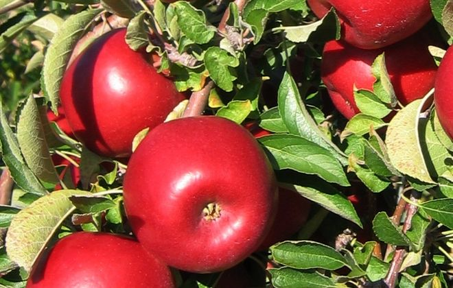 RubyFrost apples, a new variety developed by Cornell University, are shown on a tree at Cornell's Agricultural Experiment Station in Geneva.
