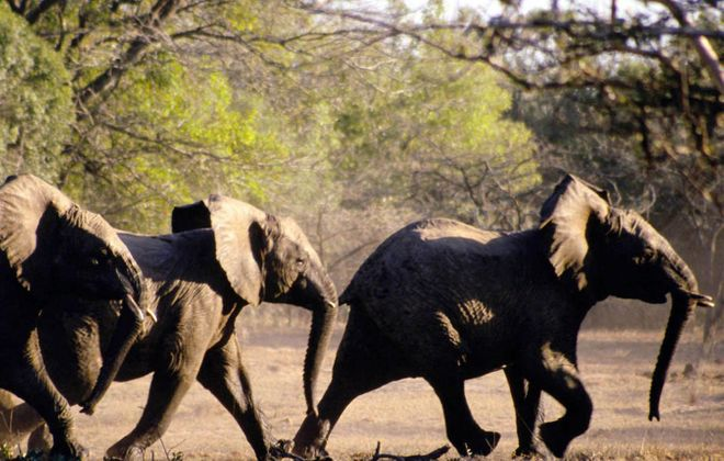 African elephants manage to pick up on the cue of a human pointing to an object.