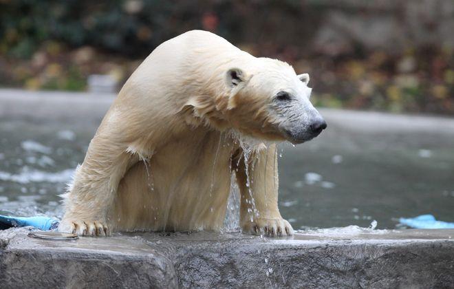 Luna the Alaskan Polar Bear at Buffalo Zoo  in Buffalo, N.Y. on Friday,Nov. 1, (John Hickey/Buffalo News)