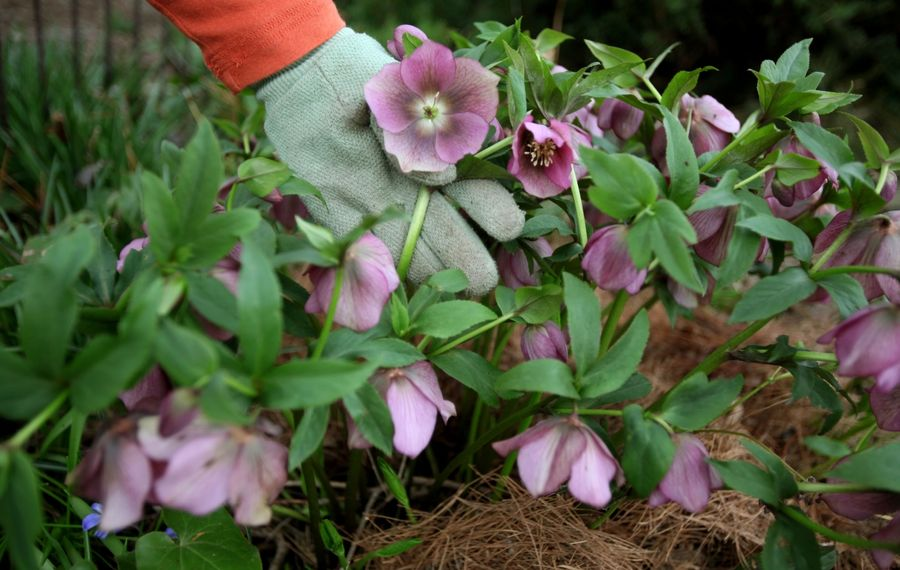 One tip for gardeners, especially new ones, with time on their hands: Hellebores – the first perennials to flower – are probably blooming already, so do cut away any of the old, raggedy leaves from last season. (Robert Kirkham/News file photo)