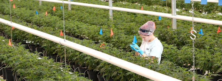 Recreational marijuana is already legal in Canada, where a worker in 2017 was photographed inspecting plants in a Tweed Farms greenhouse in Niagara-on-the-Lake, Ont. (Derek Gee/News file photo)