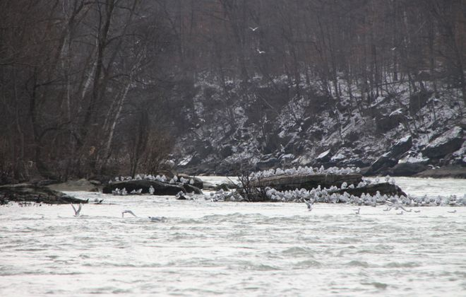 The Niagara River Corridor is recognized as an Important Bird Area. Take advantage of special programs for bird watching opportunities. (Bill Hilts, Jr./Buffalo News)