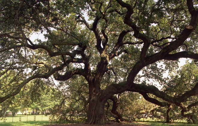 The 300-year-old, history-steeped Emancipation Oak on the campus of Hampton University.  (Courtesy Hampton University)