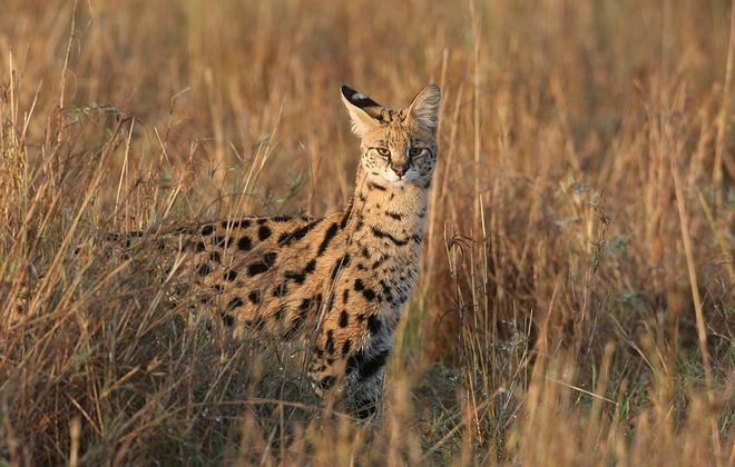 A serval in the Masai Mara Game Reserve in Kenya. (Getty Images)