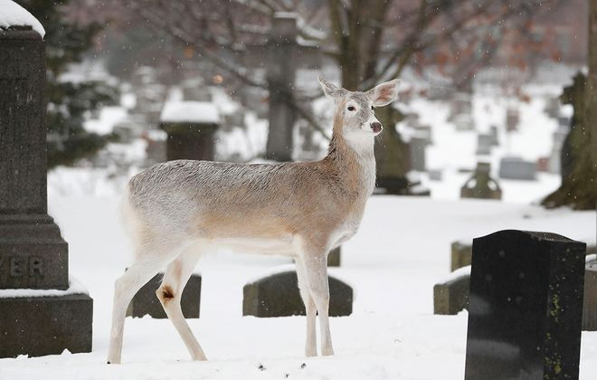 A white deer's coat barely contrasts with the snow in Forest Lawn on Feb. 2. (Sharon Cantillon/News file photo)