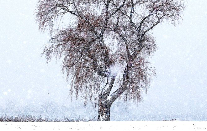 A willow tree dusted with fresh snow along the bank of the upper Niagara River at Niagara State Park on Feb. 7. (Robert Kirkham/News file photo)