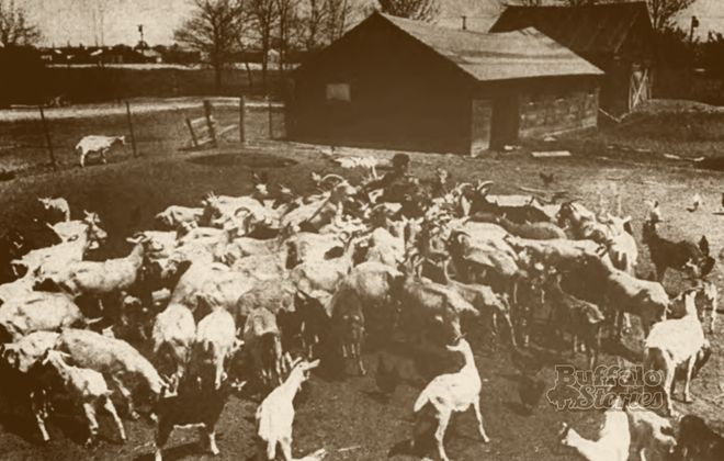 Gust Floros surrounded by his goats on his goat farm on Young Street in the City of  Tonawanda, in the mid-1960s.
