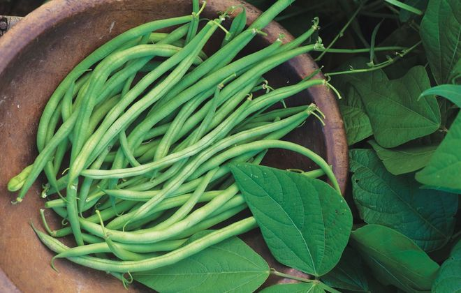 "Beans, such as Bean ""Beananza,"" are a popular choice for growing at home. (Photo courtesy W. Atlee Burpee Co.)."