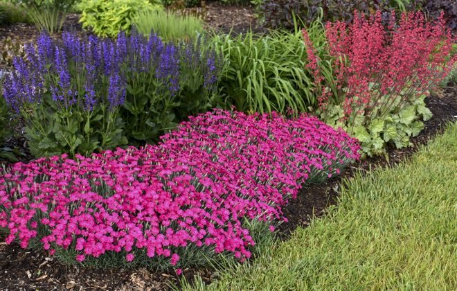 "Perennial possibilities: ""Paint the Town Magenta"" Pinks (Dianthus hybrid); Dolce ""Spearmint"" Coral Bells (Heuchera hybrid); and Color Spires ""Indiglo Girl"" Perennial Salvia (Salvia hybrid). Photo courtesy Proven Winners."