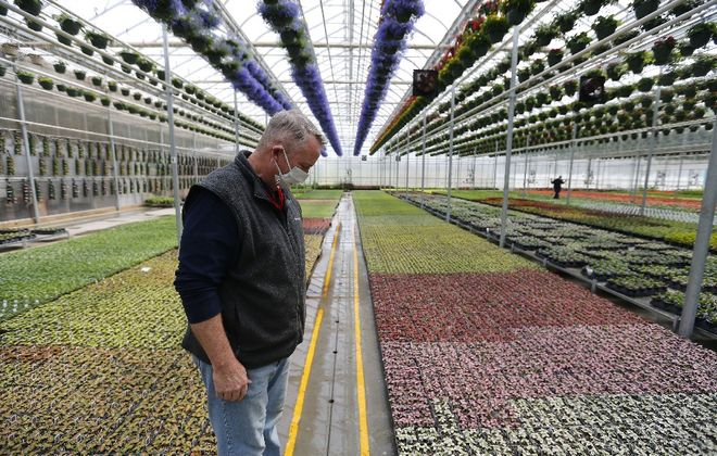 Dennis Brawdy, a partner at Amos Zittel & Sons Inc. looks over the growing plants in one of their greenhouses last week. All aspects of agriculture are under threat from the novel coronavirus and need help from Washington. (Mark Mulville/Buffalo News)