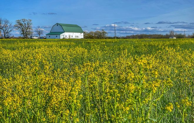 A white barn stands out against a crisp blue sky and field of yellow weeds off County Road in Clarence. (Cathaleen Curtiss/Buffalo News)