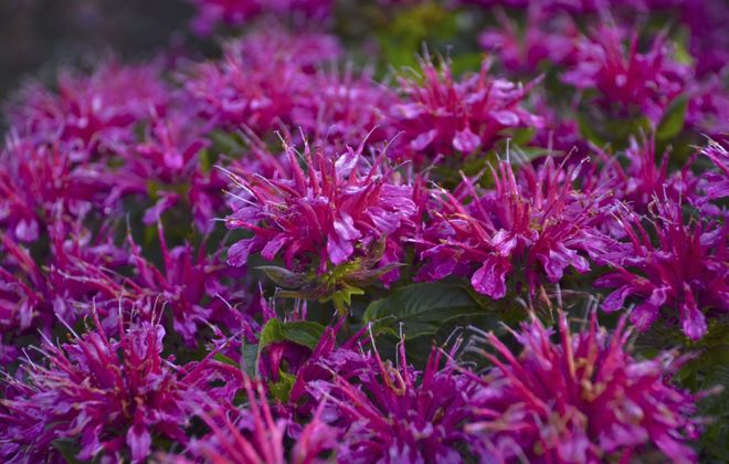 """Pardon My Purple"" Bee balm, Monarda didyma. (Photo courtesy of Proven Winners)"