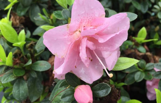 Azaleas ... one reader's childhood gift to his mom on Mother's Day. (Photo of Perfecto Mundo Double Pink Reblooming Azalea courtesy Proven Winners)