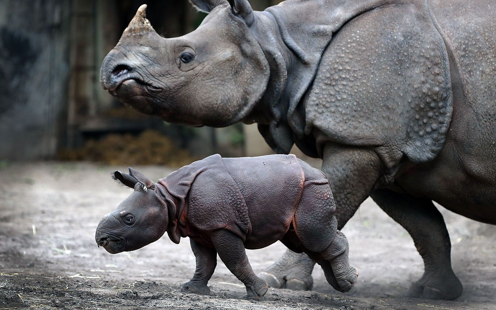 2019: Mohan the newest greater one-horned rhino, born June 17, with his mother, Tashi, at the Buffalo Zoo on July 12, 2019.
