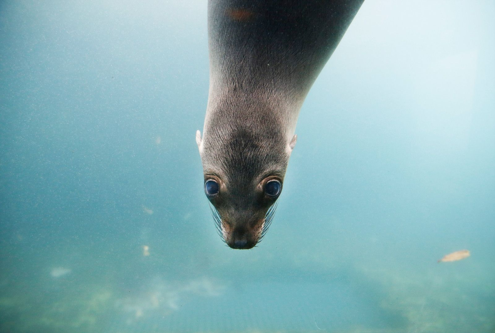 Toni the 7-month-old baby sea lion is the new darling at the Buffalo Zoo.