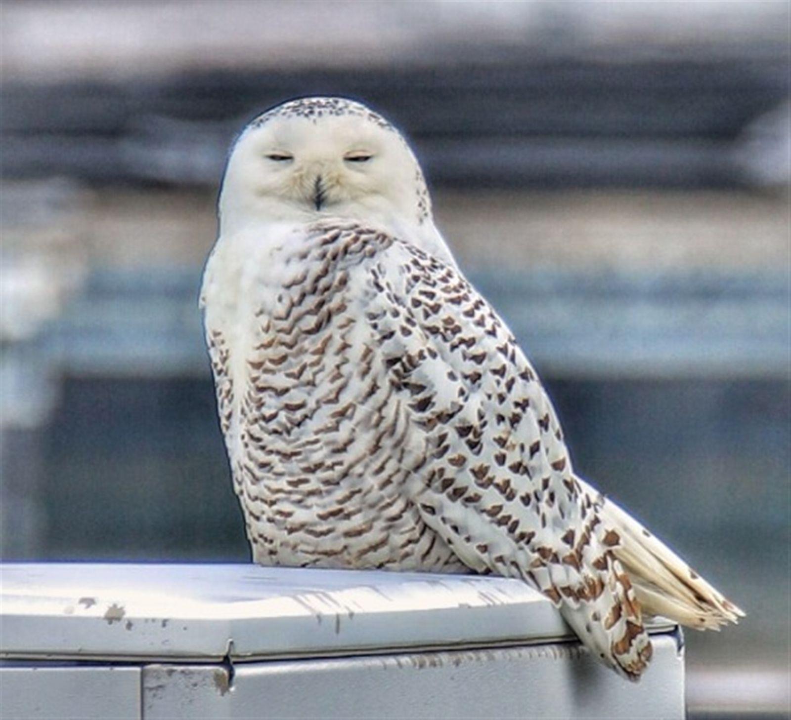 A snowy owl taken on Jan. 15, 2020 in Buffalo.