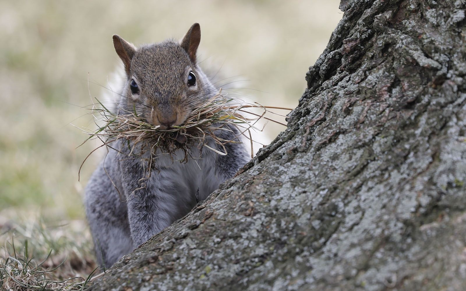 Day 25: Jan. 25, 2020 - A squirrel carries a mouthful of grass while collecting materials for a nest in Erie Basin Marina.